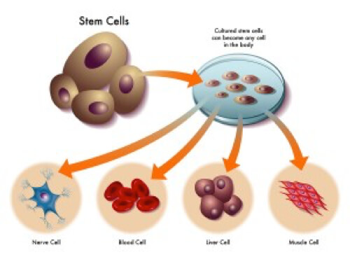 What are Stem Cells, stem cell therapy Miami